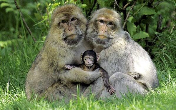 """@momspennies: Trentham Monkey Forest where this baby macaque with his adoring parents. http://t.co/dBxfMsCCyU"" protect nature"