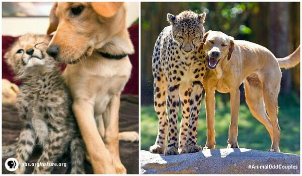 Cheetah & pup formed unlikely lifelong bond! #AnimalOddCouples is online: http://t.co/pnwCmuiQLU http://t.co/tPIyJjEoEn