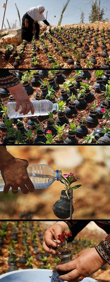 İsrail askerinin kullandığı gaz bombası kapsüllerinin içinde çiçek yetiştiren Filistinli kadın nirvanadan bildiriyor: http://t.co/vycF0Yh7Sd