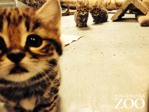 Black-footed cat kitten selfie, plus a photobomb from two littermates. http://t.co/KJOjQ9vOIT
