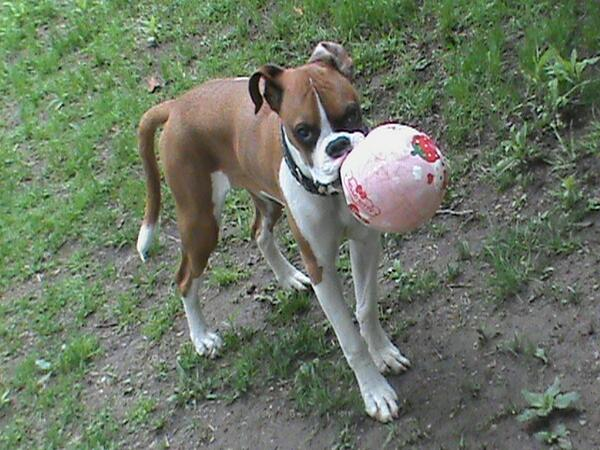 Moment of silence 4 my #hellokitty ball that is no more! @iLoveDogsInc #dogs #dog #puppy #boxer #woofwoofwednesday http://t.co/7QJm8IbBCb