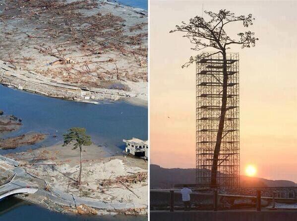 """""""El único árbol que sobrevivió al tsunami en Japón entre 70.000 árboles"""". vía @fotohistoricaa http://t.co/Rn0szaR8Ff"""