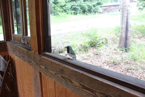 事務所の玄関からピーピーと大きな音が。見に行くと、オオルリが遊びにきてくれてました。青色の鮮やかなオオルリは、スタッフにも人気の鳥です。東南アジアで越冬し、夏前にこちらに帰ってきたんですね。こんな日は、なんだか幸せな気分になりますね。 http://t.co/Vn4tde4Lvw