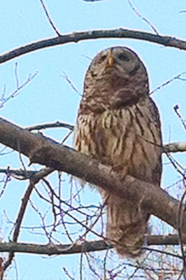 Owl in Wake Forest, NC park during the day. June 2012 http://t.co/tae8BJHFBR