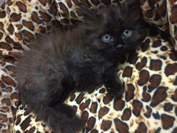 Folks! Please help me find a home for this cute 4-5 week old male kitten - http://t.co/OdX2ww2f5E