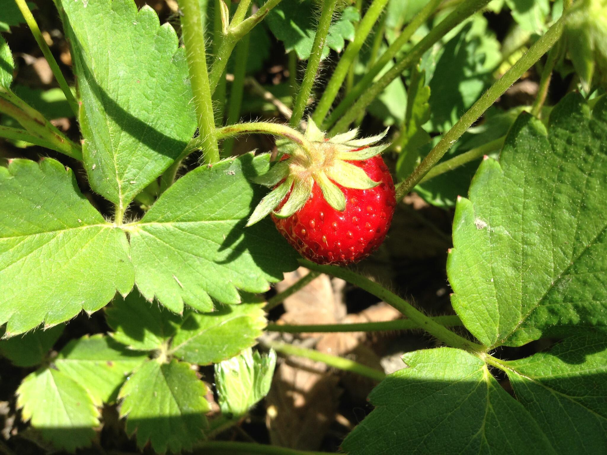 @gardenchat My first strawberry of the season! Tiny, but tasty. http://t.co/DGOq04quJg