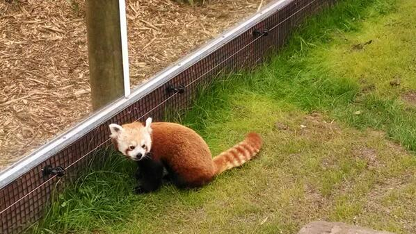 .@littlecalculist: ZOMG the @sfzoo has a baby @firefox. I repeat: we have a baby @firefox, folks. http://t.co/mDn6YOtZio cc @angelinamagnum