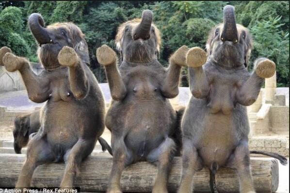 Primeras reacciones de los elefantes tras conocer la abdicación del Rey de España. http://t.co/QOAMzsFLfx
