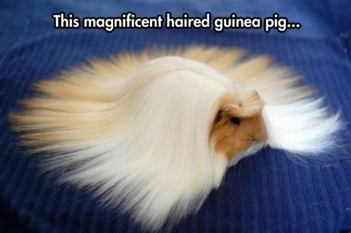 Guinea pig: http://t.co/uY01rWZAv7
