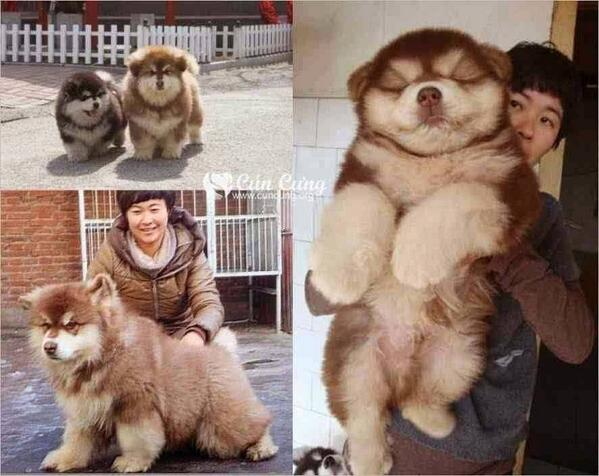 Chusky:  a cross bred between Chow Chow and Siberian Husky. http://t.co/UuVr8BF4Yb