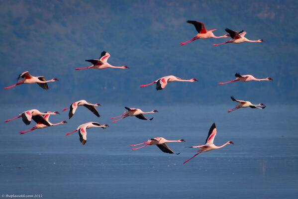 Flamingos Fly over Lake Nakuru in Kenya... Beautiful! #photography http://t.co/ideTMwCntM