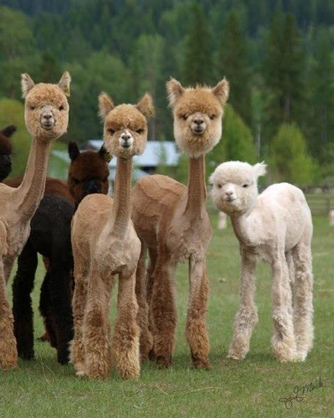 Shaved Alpaca's are both hilarious and terrifying. http://t.co/FHGrSyTGNw