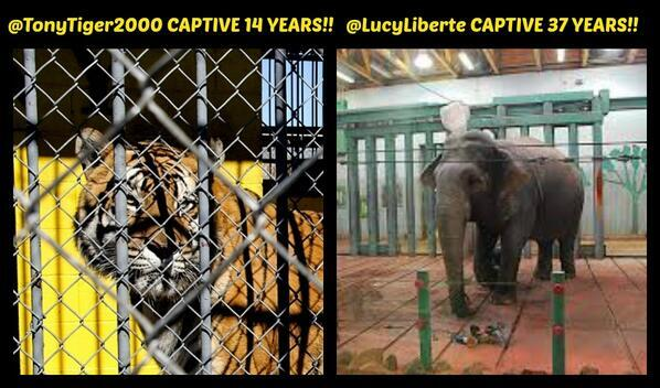 STILL NO #FreedomFriday 4 @lucyliberte CAPTIVE 37 YEARS in a zoo & @TonyTiger2000 CAPTIVE 14 YEARS @ a truck stop! http://t.co/casu1GxaMC
