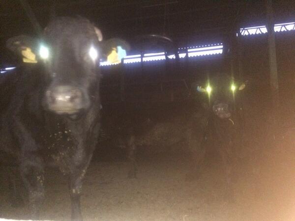 牛に食べられかねない画像((((;゚Д゚))))))) http://t.co/lljmUpjusH