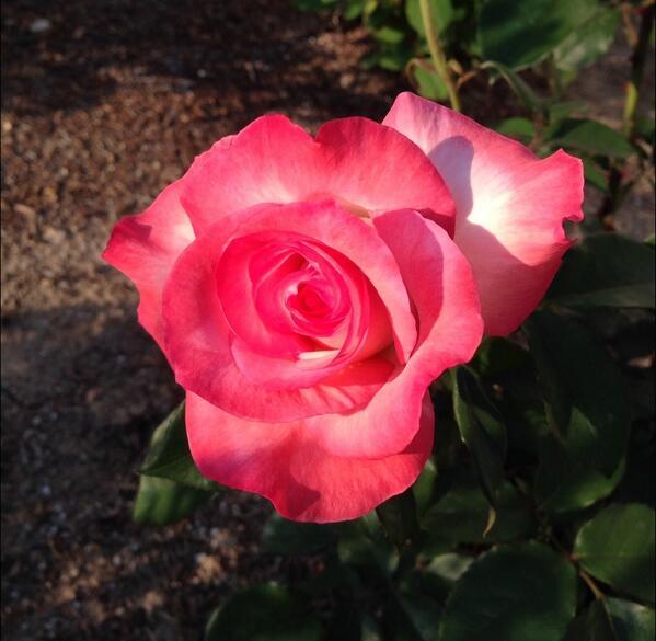Gemini tea rose in my garden. Always a beauty. #rosechat http://t.co/1B9vOwwR3p