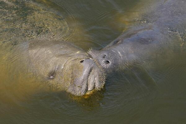Take-A-Look Tuesday: Our field crews frequently spot manatees while working in and around canals and structures. http://t.co/nc8jFqF55c