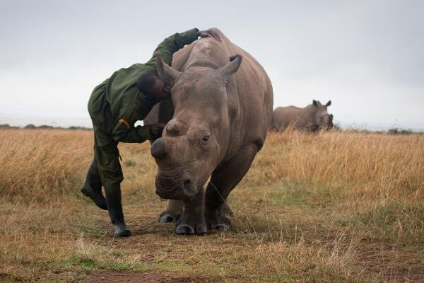 Fatu one of our northern white rhinos and her keeper Mohammed. #AdoptARhino cc @HelpingRhinos http://t.co/g5vase4FMX http://t.co/X4Ste7WhzE