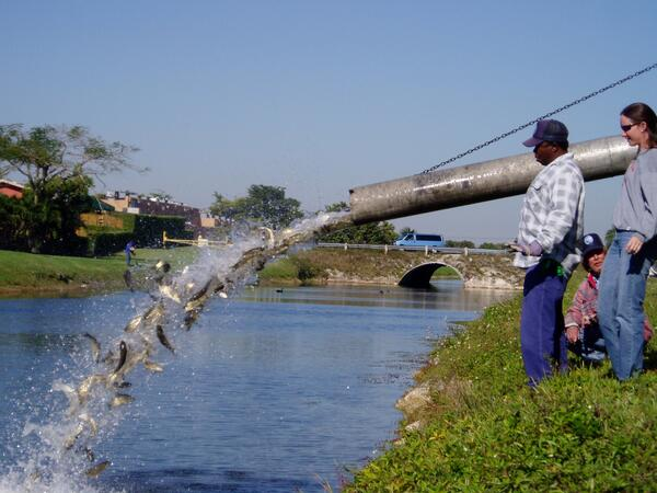 Take-A-Look Tuesday: Sterile grass carp are sometimes stocked in S. Florida canals to help control invasive plants. http://t.co/OzW5aZqN5N