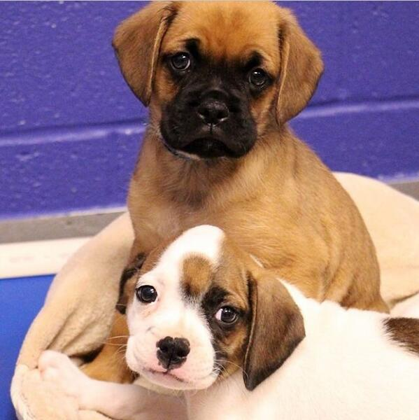 These little nuggets are available @spcaoftexas http://t.co/nZVE4n3RBf