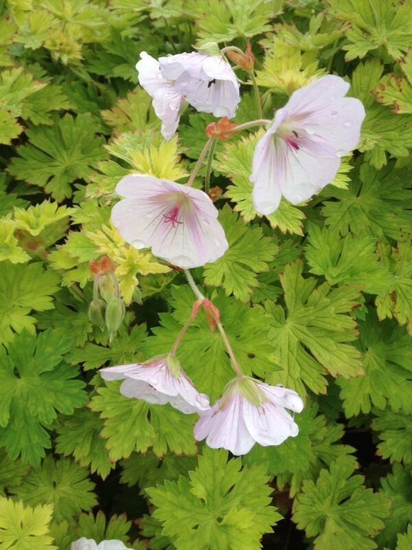 Geranium 'Lilac Ice'. This is sport from Rozanne. Nice markings and plenty of flowers right now. #newplants http://t.co/lehuNSCSPw
