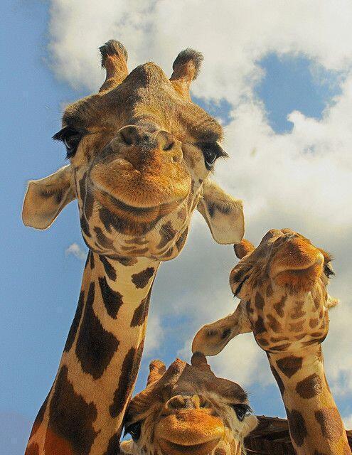 3 Giraffes say Cheese! http://t.co/sCB77QpVXg