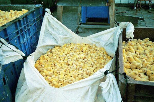 These are male chicks, bagged alive. Males are useless to the egg industry, & treated as such.  End this; go #vegan. http://t.co/wtapsunSyP