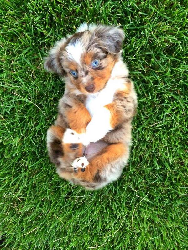 7 week old mini Australian Shepherd: http://t.co/hqT3do9ZQW
