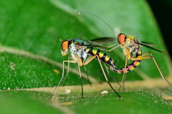 @Myrmecos @AndyBugGuy check out these long-legged flies, I have no idea what species though... http://t.co/kXHuCCO4x8