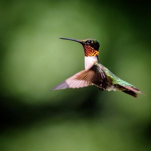 Finally! Got 'em! #olympus E-M1 + Zuiko 50-200mm #hummingbird #nature #wildlife #birds http://t.co/heJZf31Odu http://t.co/NcgAiuMLcj