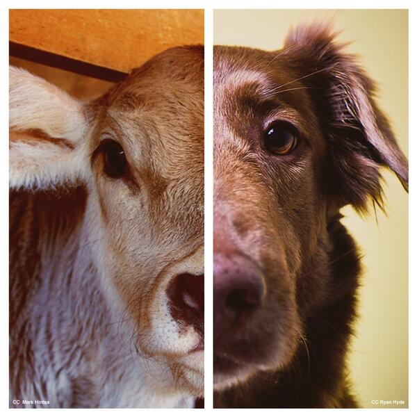 killing a cow is no different than killing a dog #creatureswithsouls http://t.co/i6StIBPWE5