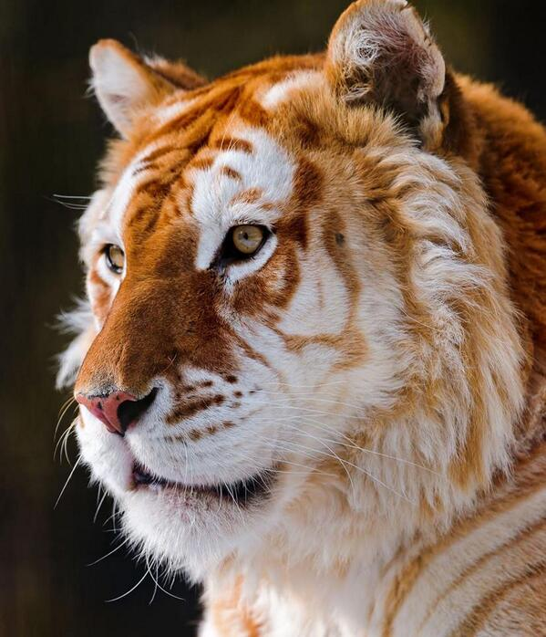 The extremely rare and majestic Golden Tiger. Less than 30 of these exist in the world. http://t.co/9QZPORHCUJ