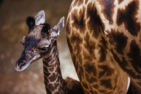 Baby giraffe born Sunday at @clemetzoo! 6 feet tall, 123 pounds!! Read more here: http://t.co/0kKU5M0VJx http://t.co/X3zj5ndw7g