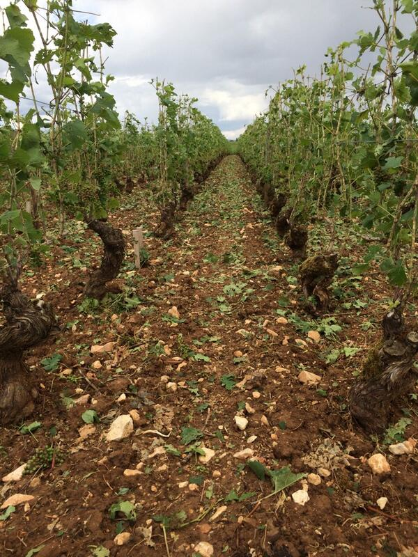 Sad! RT @cparentgros: #Beaune 1er cru les boucherottes 1 day after the hailstorm. #Burgundy http://t.co/d4BJZsNqiK