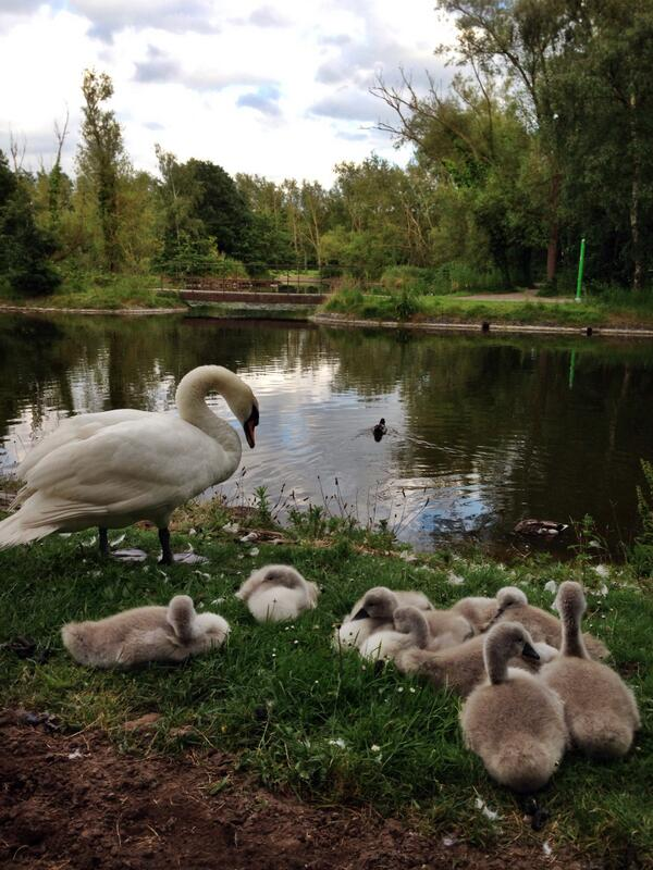 Family Sunday #victoriapark #Belfast #swan #cygnets #summer #iPhoneography @WeatherCee @angie_weather @barrabest http://t.co/TcjgGmxIBi
