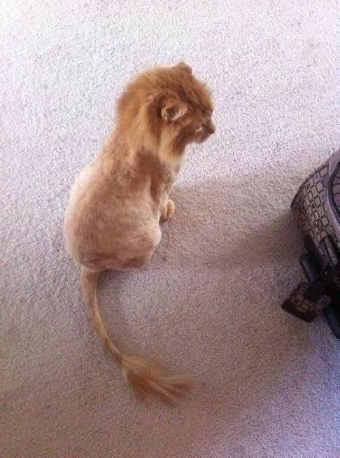 Someone shaved their cat and turned it into Simba: http://t.co/xUEM7PmRgP