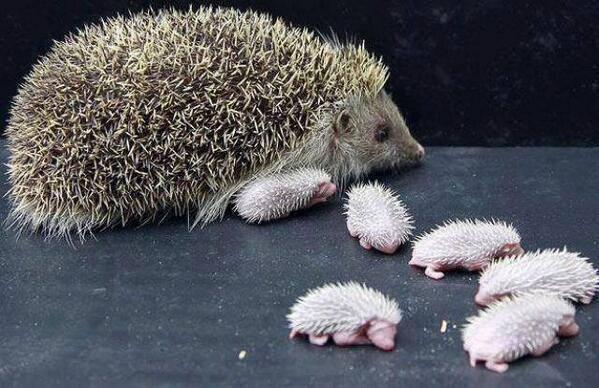 Hedgehog mom with her babies: http://t.co/e7IVTlawQ1