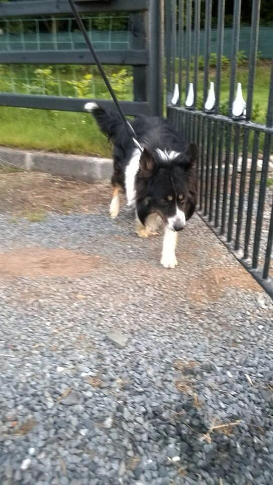 collie found wandering on A1 near Harry's road this eve - He is in Lisburn pound please RT in case owners searching http://t.co/KnXZs6J3Df