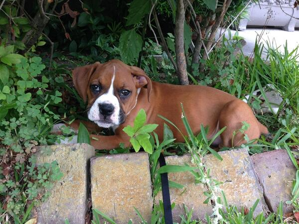 "LOST/STOLEN PUPPY Contact Chris (516) 659-9259 ""Lucy"" last seen Sunday 6/29 @ Broadway/Jeannette. Pls RT! http://t.co/pDN8RGX5jl"