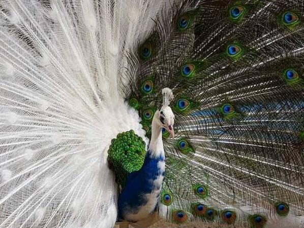 Half-Albino Peacock: http://t.co/VU6BmwYQH6