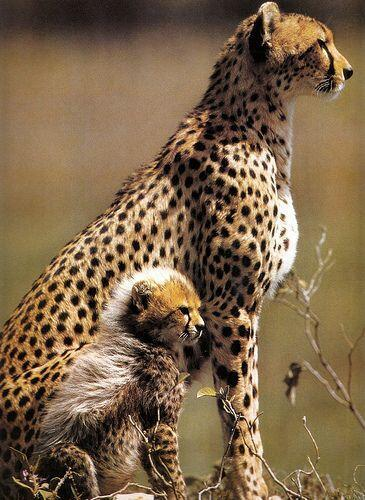 Baby cheetahs are fluffy when they're young. http://t.co/KjDtEpSmed