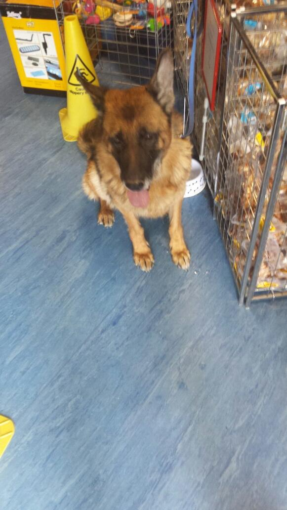 @Cookiiedivine 8yo German Shep found Balbriggan. Chip registered to breeder. Currently in cuddles pet store pls RT http://t.co/zIZIj1gn2E