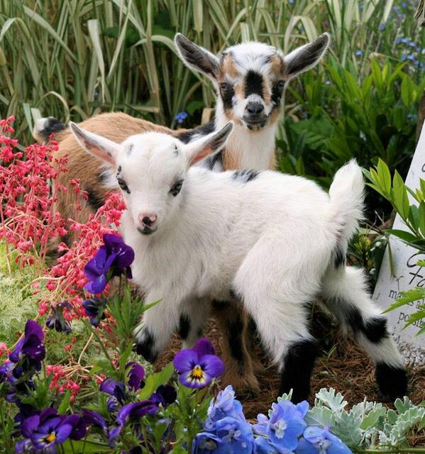 Baby goats, with flowers. http://t.co/P7gieLP4I3