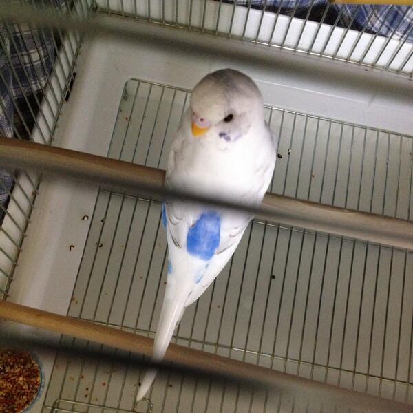 【再掲】7/4から四条畷警察経由で迷子セキセイインコを保護中。全体が白、お腹と背中が青、頭と顔に少し縞、羽に薄いうろこ模様。まだ若く、放浪期間も短いと思われます。少しおしゃべりするようです(聴き取り不可)お心あたりの方ご連絡を! http://t.co/Hl7j1laDZJ