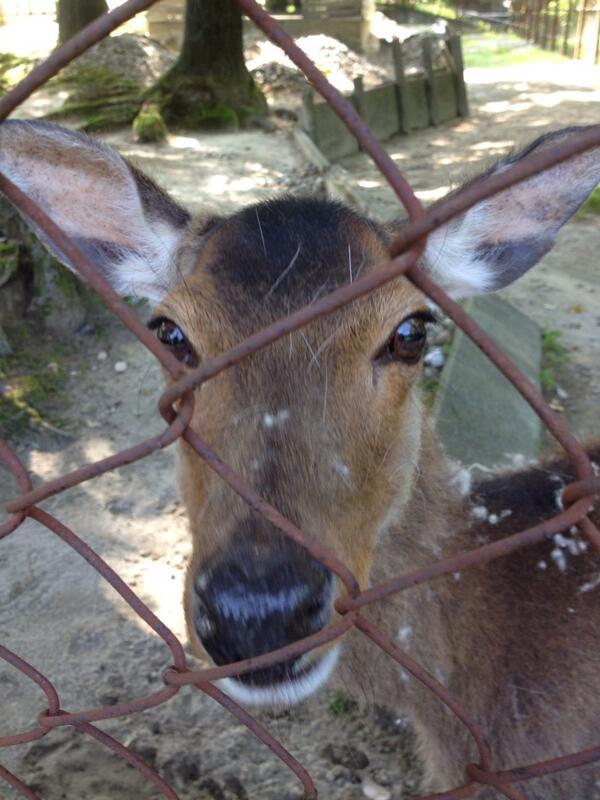 森林公園のシカのユキちゃんが深夜に何者かに誘拐されたようです。公園を散歩しているみんなを癒してくれる優しい子です。お年寄りなので環境の変化は辛いと思います。誰だかわかりませんが、帰してあげて下さい。お願いします。 http://t.co/Wd8jkczBwc