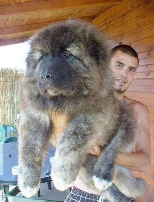 That's a 1 Year-Old Caucasian Shepherd Puppy - this giant pup looks like little bear in guy's hand! http://t.co/HUgXUaRfgZ