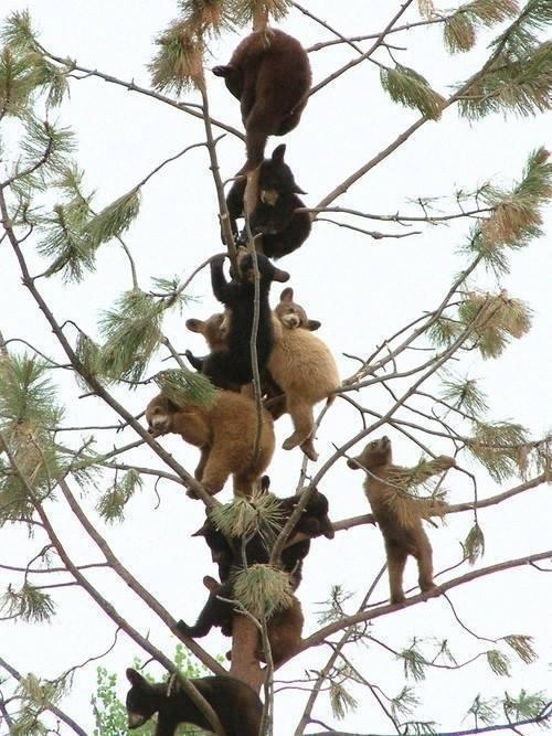 A tree full of baby bears! http://t.co/OgwmIXvWbP
