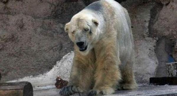"Que vergüenza...""Arturo, la triste historia del oso polar que vive a 40 grados en Argentina http://t.co/q2m0SltATY http://t.co/wOSPrUm55o"""