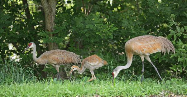 Here is the entire Sandhill Crane  family from today's visit to  Kensington Metropark. #backchannel #Michigan http://t.co/Kk1FPXyvhc