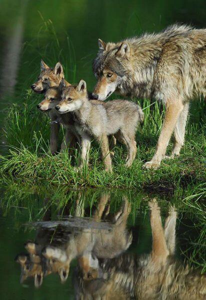 Wolves http://t.co/3wTykKDV4c