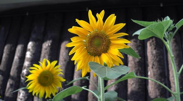 @aiww #FlowersForFreedom http://t.co/a0BCbb5Hyc